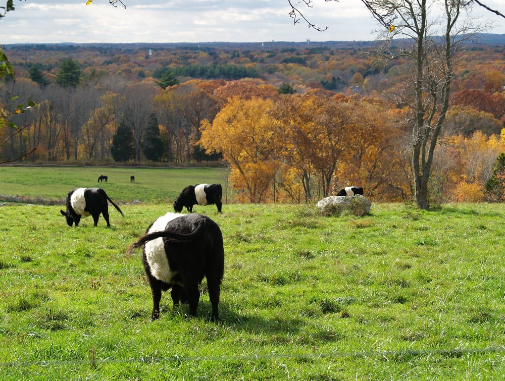 Belted Galloway cows in the pasture 10